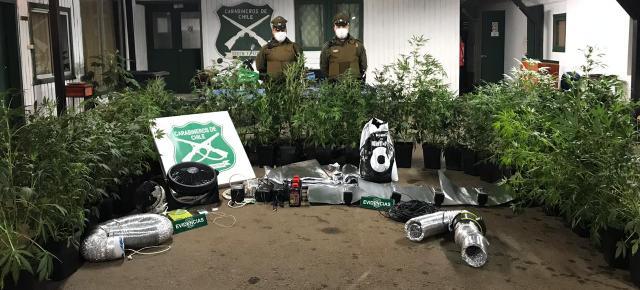 32 plantas de marihuana fueron decomisadas desde vivienda - Red Informativa Villarrica